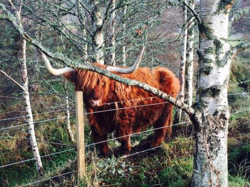Higlands Cow
