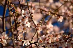 almond tree 4