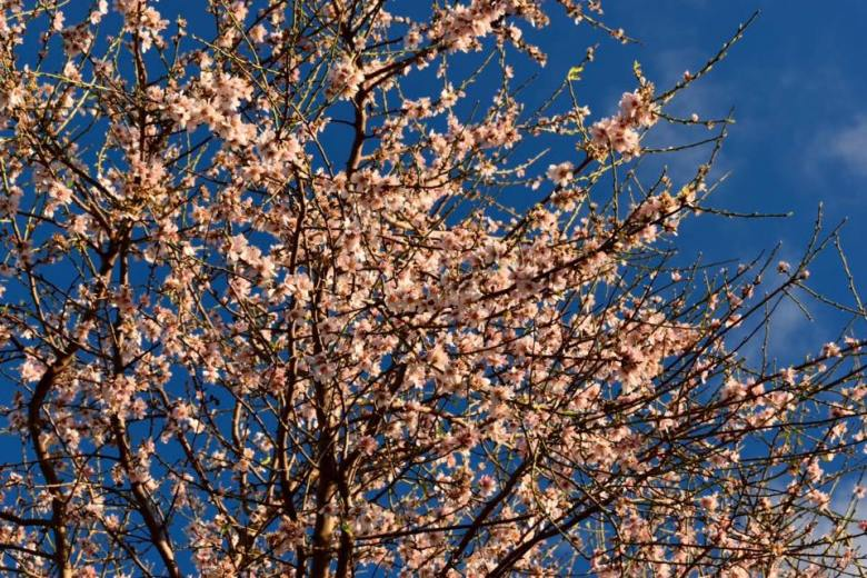 almond tree 5