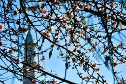 almond tree 6