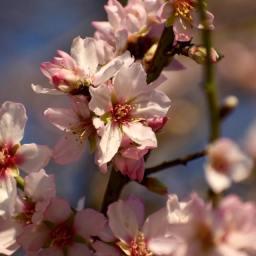 almond tree1