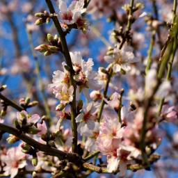 almond tree2