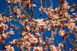 almond tree3