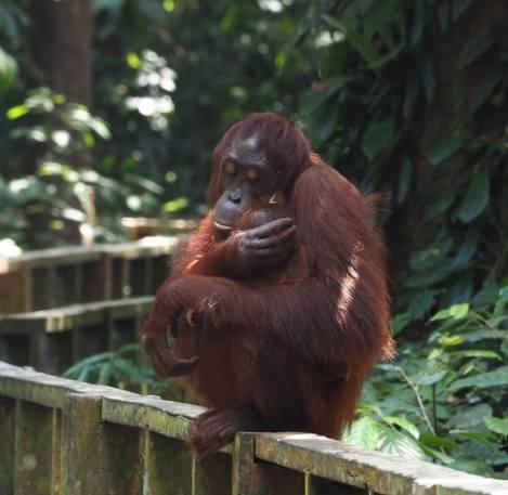 Borneo19